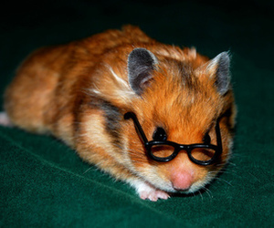 hamster, cute, and glasses image