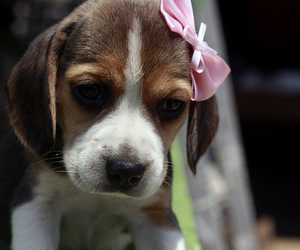 dog, cute, and bow image