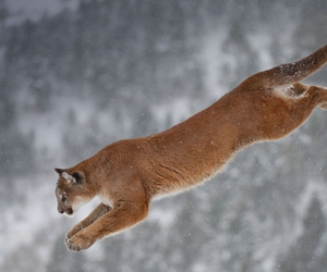cat, cool, and COUGAR image