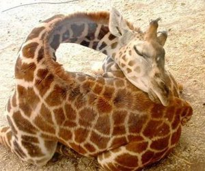 giraffe, sleeping, and animal image