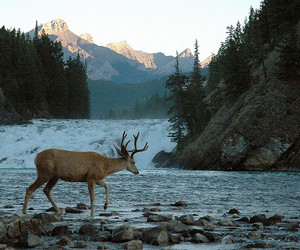 deer, nature, and river image