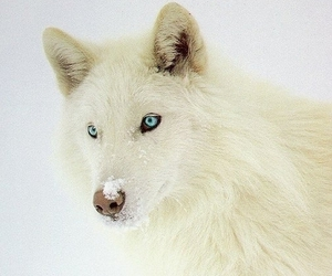 wolf, blue eyes, and white image