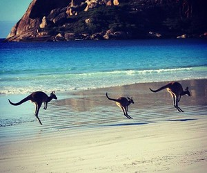 kangaroo, australia, and beach image