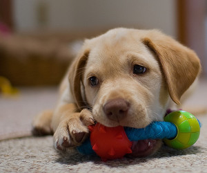 dog, labrador, and puppy image
