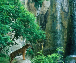 nature, tiger, and animal image