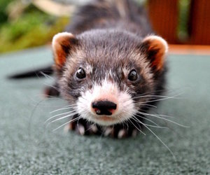 ferret, photography, and cute image