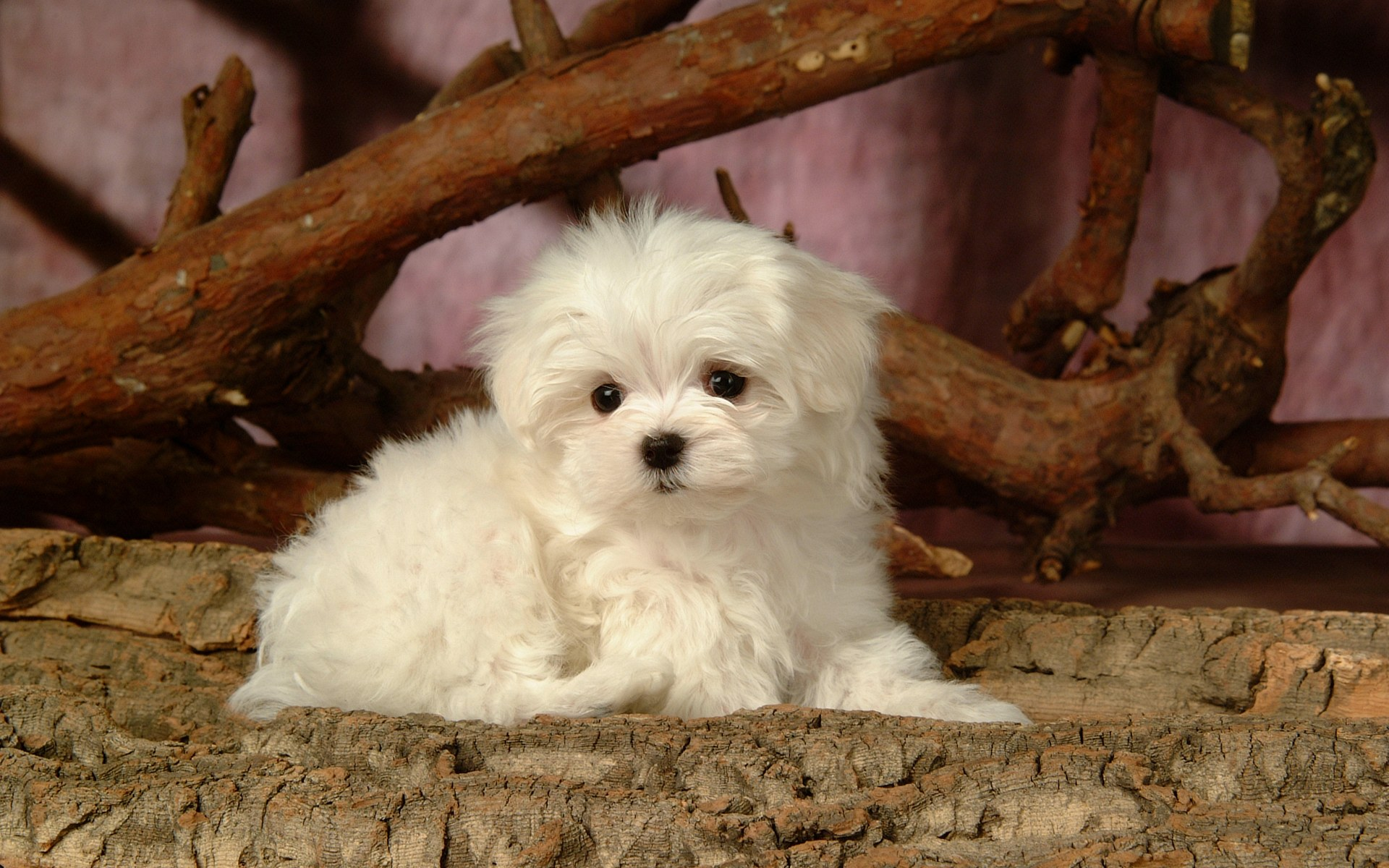 Fluffy Maltese Puppy Dogs White Maltese Puppies Wallpapers 1920x1200 No 1 Desktop Wallpaper Wallcoo Net