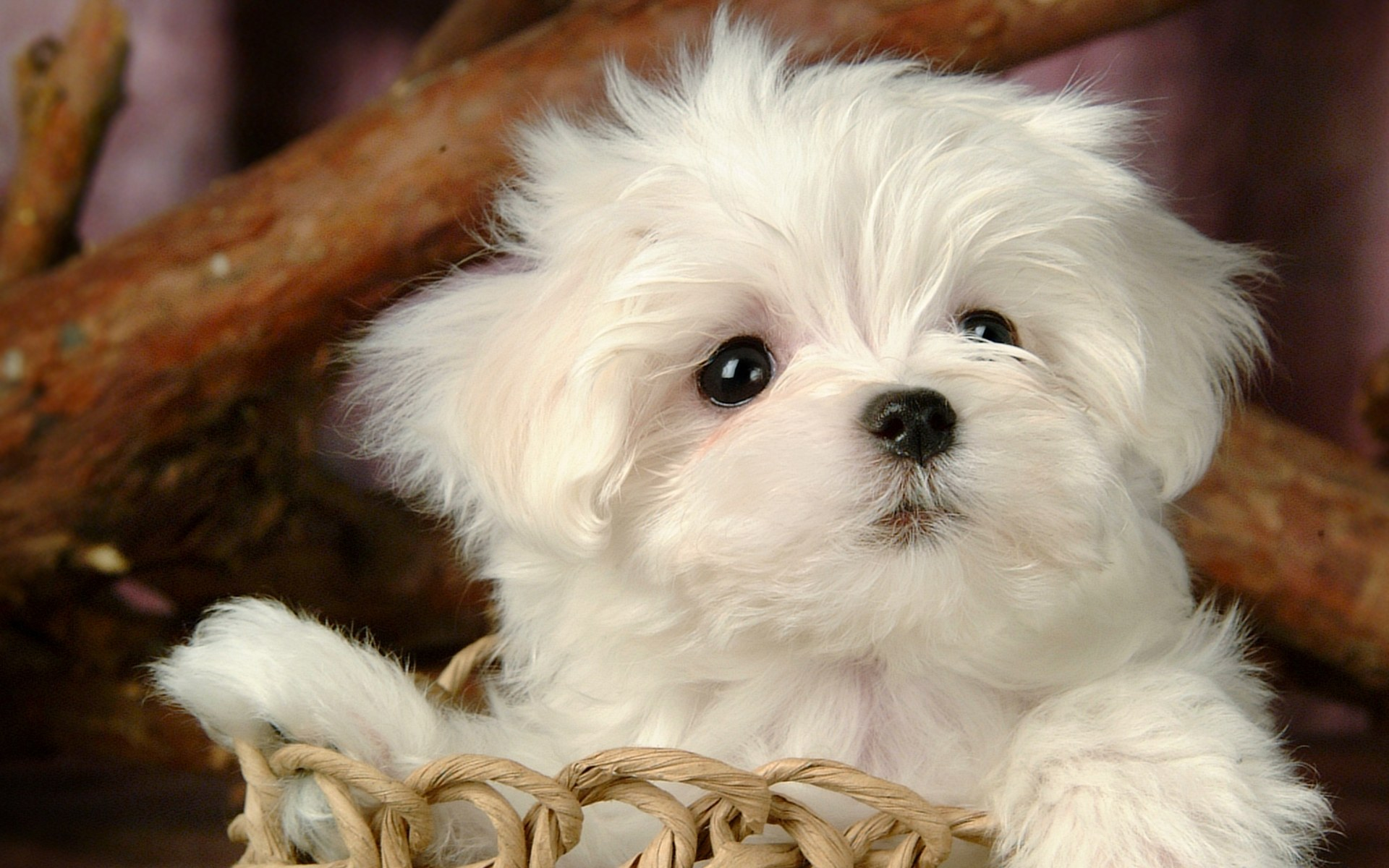 Fluffy Maltese Puppy Dogs White Maltese Puppies Wallpapers