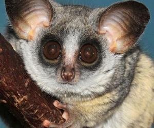 bush baby and lesser galago image