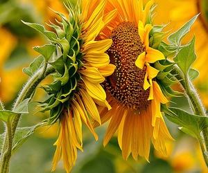beleza, girassol, and flowers image