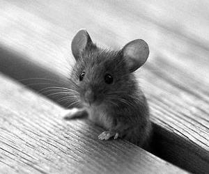 mouse, cute, and animal image