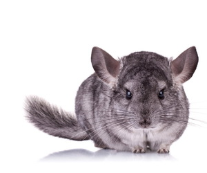 Chinchilla and cute animals image