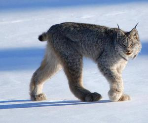 animal and lynx image