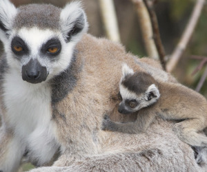baby and ring-tailed lemur image