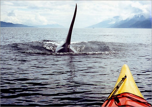 canada, Johnstone Strait, and kayaking image