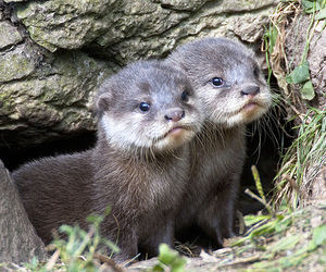 asian small-clawed otter image