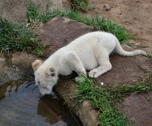 animal, nature, and lion image