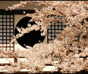 cherry blossoms, flower, and flowers image