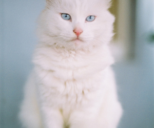 blue eyes, vertical, and white cat image
