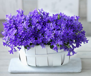 blue, Campanula, and flowers image