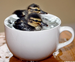 duck, animal, and cup image