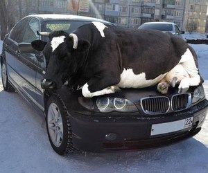 funny, cow, and awesome image