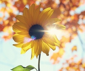 flowers, sunflower, and sun image