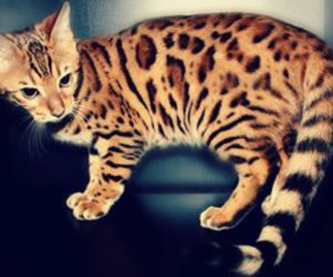 bengal, blue, and cat image