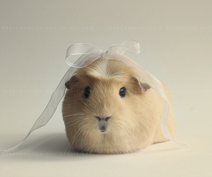 animal, bow, and guinea pig image
