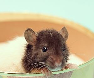 mouse, pet, and rat image