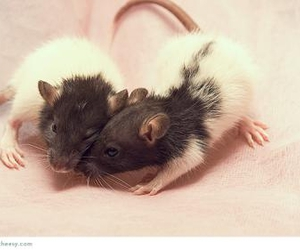 adorable, mouse, and love image