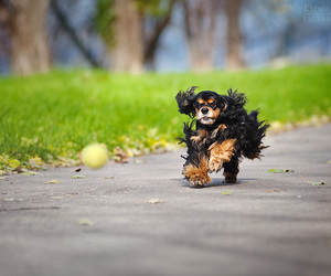 dog, dogs, and spaniel image