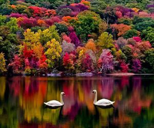 Swan, nature, and lake image