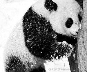 panda, animal, and snow image