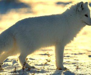 snow, arctic fox, and fox image