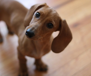 dachshund, daisy, and puppy image