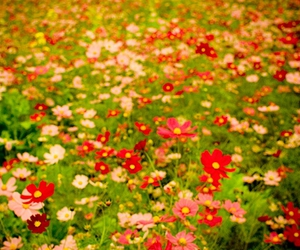 cosmos and flower image