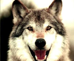 werewolf, wolf, and wolves image