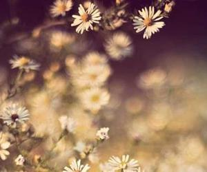 daisys, flowers, and white image