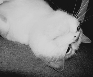 black and white, photography, and cat image