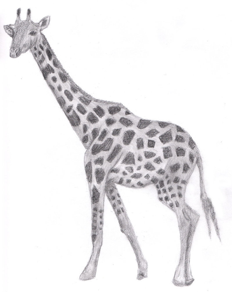 drawing giraffe by justinms66 on deviantart