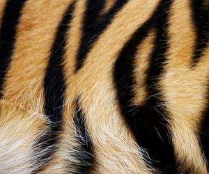 tiger, animal, and fur image
