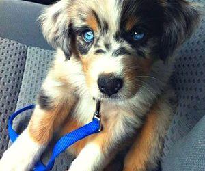 amazing, blue eyes, and dog image