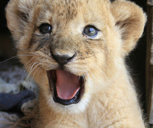 cute, animal, and lion image