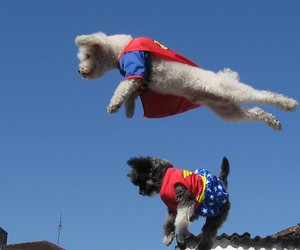 dog, poodle, and super man image