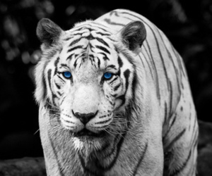 tiger, blue eyes, and animal image