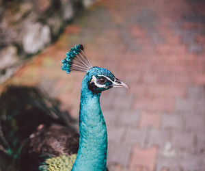 animal, peacock, and blue image