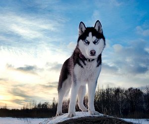 dog, husky, and animal image