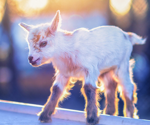 baby, cuteness, and goat image