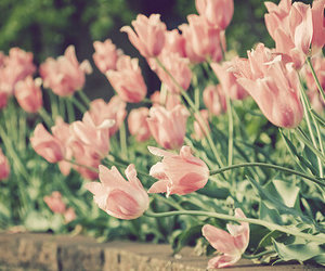 flowers, pink, and tulips image